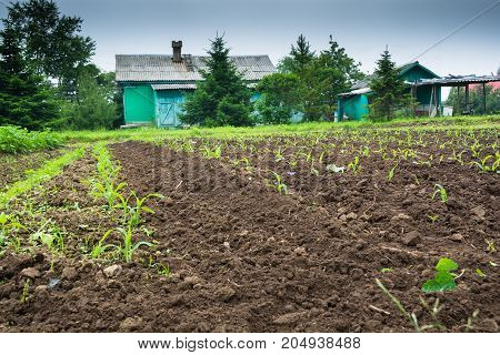 Cultivated land with green sprouts in rural. Small rural houses near evergreen trees at backdrop.