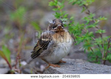 The chick of the  finch (Fringilla coelebs) closeup