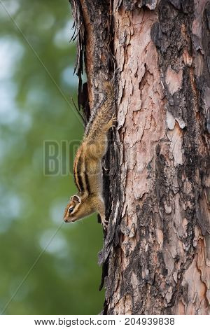 young chipmunk on a tree trunk upside down
