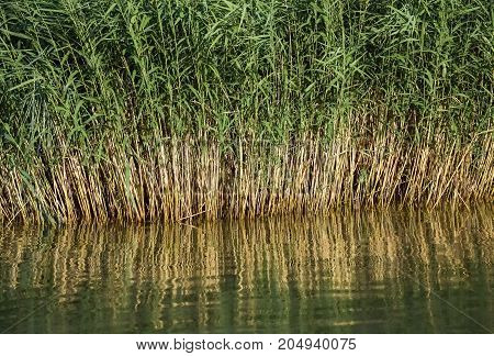 Closeup of green reed reflecting in the water