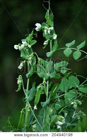 Maturing pea pods with seeds stems leaves tendrils