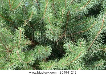 Fluffy branches of a blue spruce gentle. Lovely delicate luxurious spruce needles. Fir tree close.