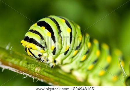 A black swallowtail caterpillar feeding on a carrot plant.