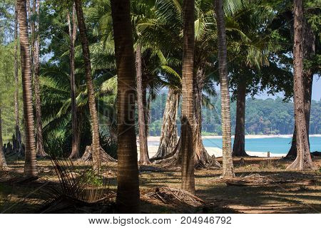 Coconut grove on Indian Ocean coast, India, Small Andaman.