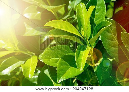 Fresh Green leaves background texture. Natural green texture. Glossy leaves. Saturated bright color. Bright sunlight glare. Lovely warm background.