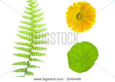 Fern, Yellow Daisy, Geranium Leaf