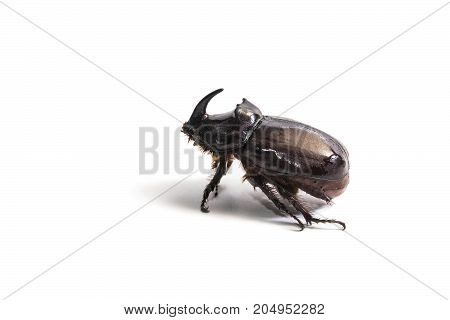 Rhinoceros beetle Oryctes nasicornis in white background