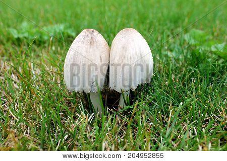 Poisonous mushrooms Fibers of the patuillard poisonous mushroom.