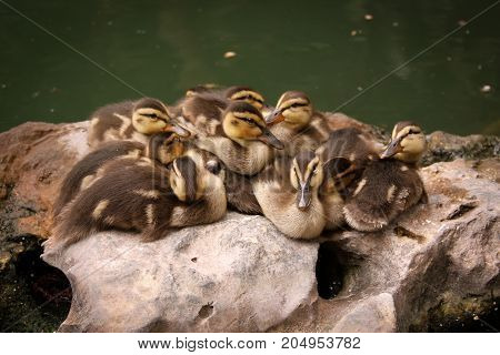 A family of ducklings snuggling on a rock.