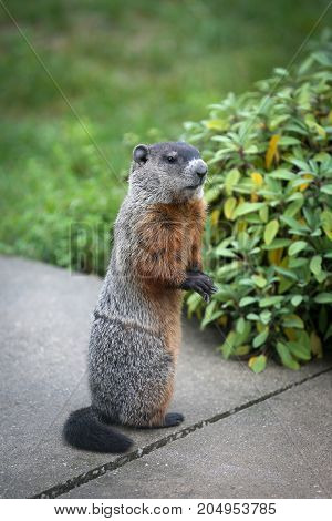 A groundhog sitting up on a patio.