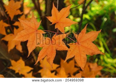 Yellow maple leaves on blurry background. Golden autumn in park. Toned.