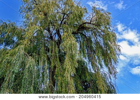 Large Salix babylonica tree (Babylon willow or weeping willow) with green pendulous branchlets