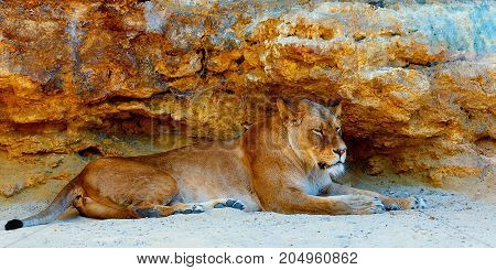 Beautiful Lioness resting in the sunshine. rock background