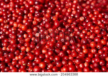Wild red berries fruits detail. Healthy food background. Finland
