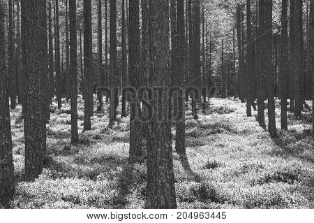 Pine wood forest sunset backlit. Nature background. Black white. Horizontal