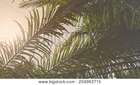 Vintage silhouette palm leaf branch tree in nature for background.
