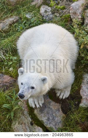 Polar bear cub in the wilderness. Wildlife animal background. Vertical