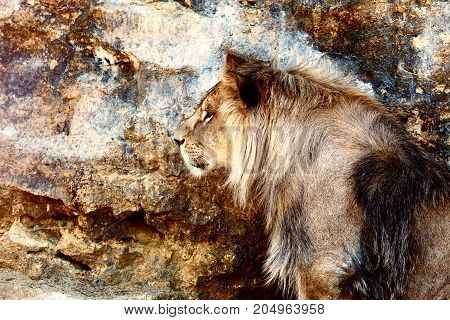 Beautiful Lion resting in the sunshine. rock background