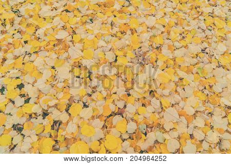 Alder tree fall yellow leaves change background, retro toned