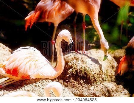 Beautiful red colored bird - Phoenicopterus ruber. Red flamingo