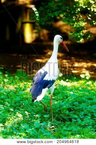 bird stork. Green nature background. White and black bird