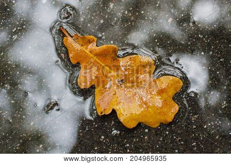 One oak yellow leaf in the puddle on wet asphalt. Autumn background concept