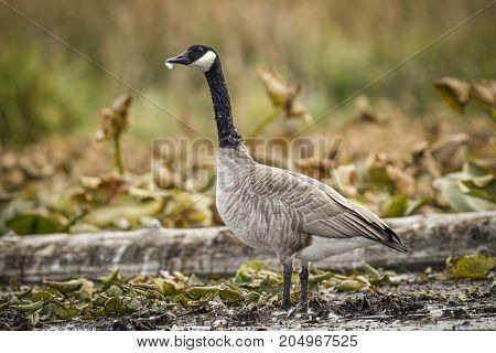 A Canadian goose stands in a marshy wetlands area in Washington.