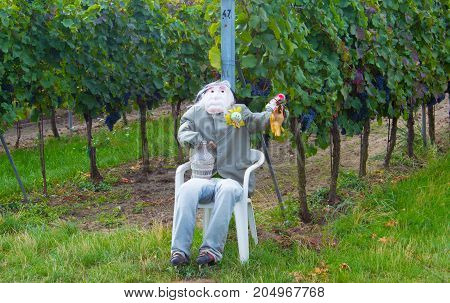 A scarecrow watch the vineyard in front of the birds. In the backgroud grows the grapevine.