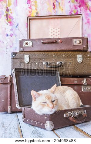 Thai Cat With Blue Eyes Sits Near Vintage Suitcases Pyramid Close-up