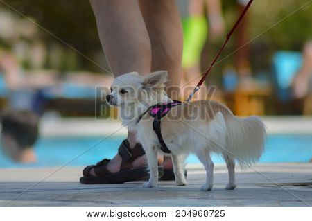 Chihuahua redhead who is walking along the pool to look amazed