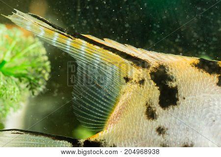 fin fish in the aquarium at home .