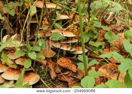 mushrooms honey agarics large among the grass in the forest