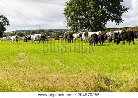Cattle grazing in a field. Looking at the cattle from the behind green grass oak trree blue sky white fluffy clouds.