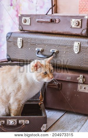 Cat With Blue Eyes Sits Near Vintage Suitcases