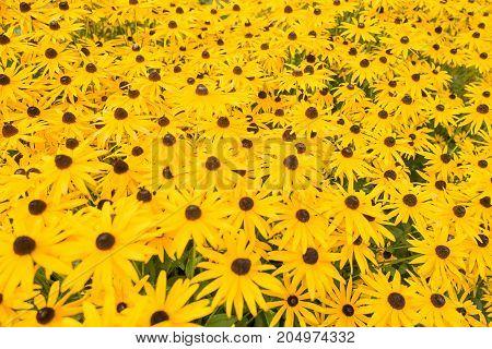 Rubeckia or Goldsturm flowers in Voorschoten Netherlands..