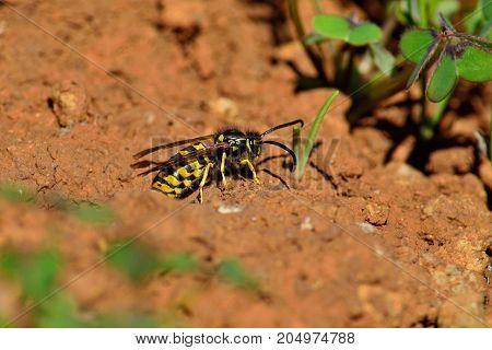 Wasp emerging from the underground nest, vespula germanica