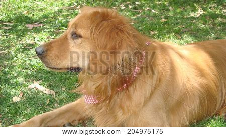 Perro Golden retriever, detalle de cabeza mirando al sudeste.