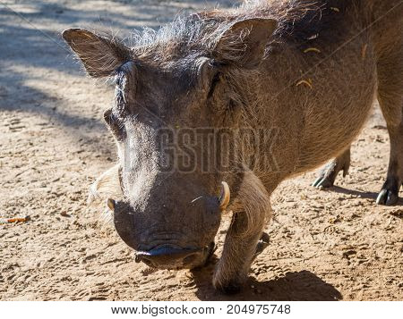 Closeup portrait of friendly warthog kneeling on sandy ground near Chobe National Park, Botswana, Africa.