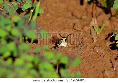 Wasp emerging from the subterranean nest with larvae in the jaw
