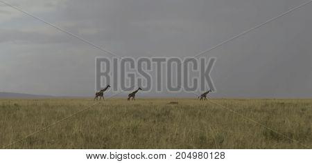 Giraffes crossing grassland of Serengeti in evening