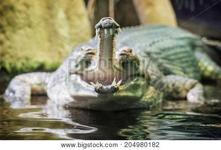 Gharial - Gavialis gangeticus with the horrible jaw. Detailed animal scene. Asian nature.