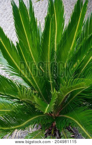 cycas revoluta palm cycadaceae from south east asia and japan