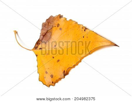 Autumn Yellow Leaf Of Poplar