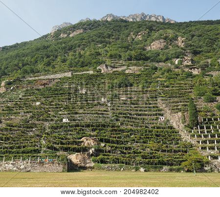 Vineyard Grapevine Plantation In Aosta Valley