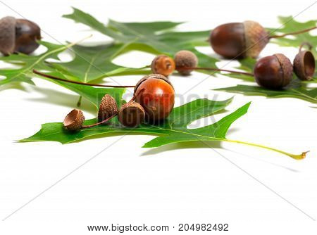 Acorns And Green Leafs Of Oak