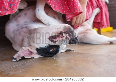 English pointer white dog in black dots playful lying on ceramic tile floor under bed and womens hand stroking it close-up shallow depth of field