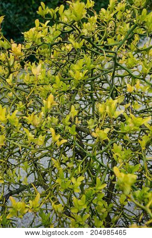 yellow poncirus trifoliata three leaf orange from asia close up flower bud view with sand floor