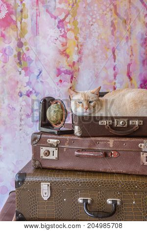 Thai Cat With Blue Eyes Sits Inside Vintage Suitcase