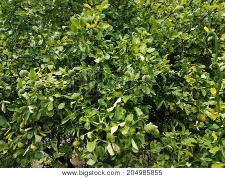 an orange tree with many fruits and green leaves
