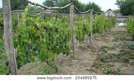 Vineyard, Bushes Of Grapes